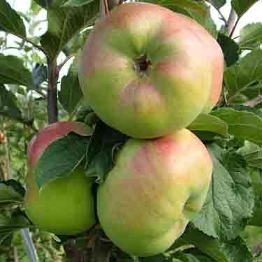 Apple 'Monty's Surprise' M116