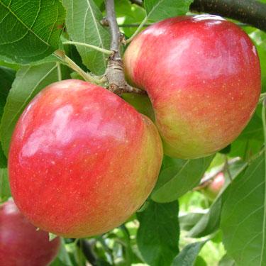 Apple 'Prima' M26