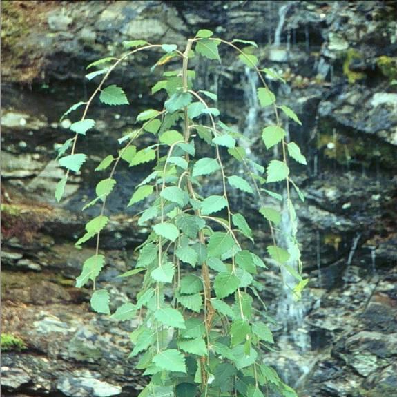 Betula 'Summer Cascade'