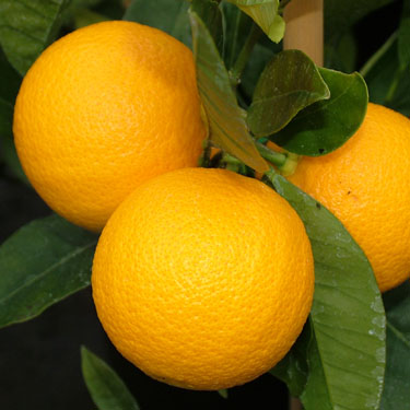 Citrus orange 'Harwood Late' Dwarf