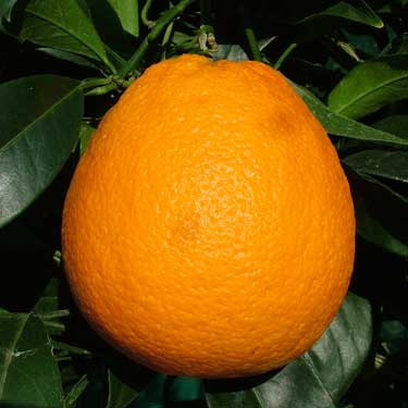 Citrus orange 'Newhall' Dwarf
