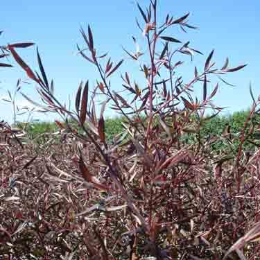 Leptospermum 'Coppersheen'
