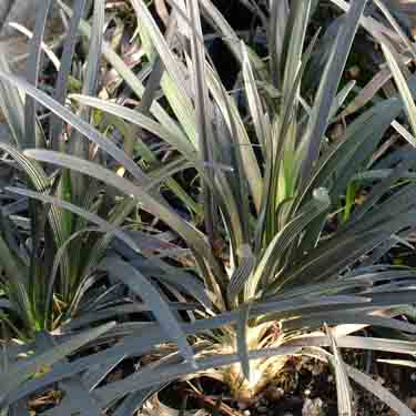 Ophiopogon japonicum 'Black Dragon'