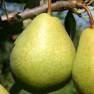 Pear 'Crispie'