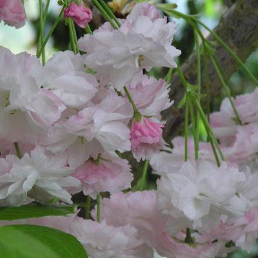 Prunus 'Shimidsu Sakura' 1.5m Std
